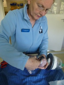 BEAK clipping, WING TRIMMING, Melbournebirdvet