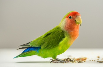Parrot Diet – Bird-Vet -Melbourne