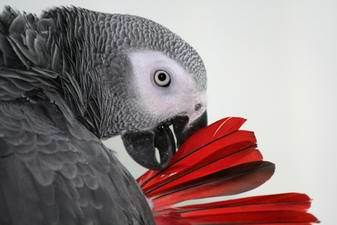 African Grey parrot vet