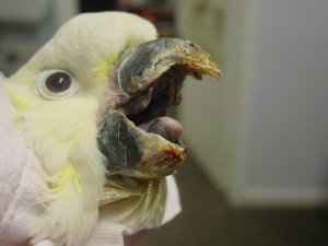Beak and feather disease – Bird vet