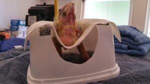 chick leg fracture - bird vet