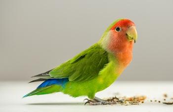 Parrot Diet – Bird-Vet -Melbourne