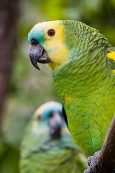 Amazon Parrot Vet