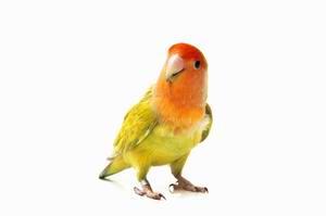 Lovebird Veterinarian