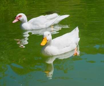 Duck vet