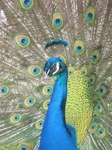 Vet for my Peacocks and peafowl