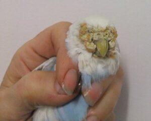 Budgie vet- Scaley mites