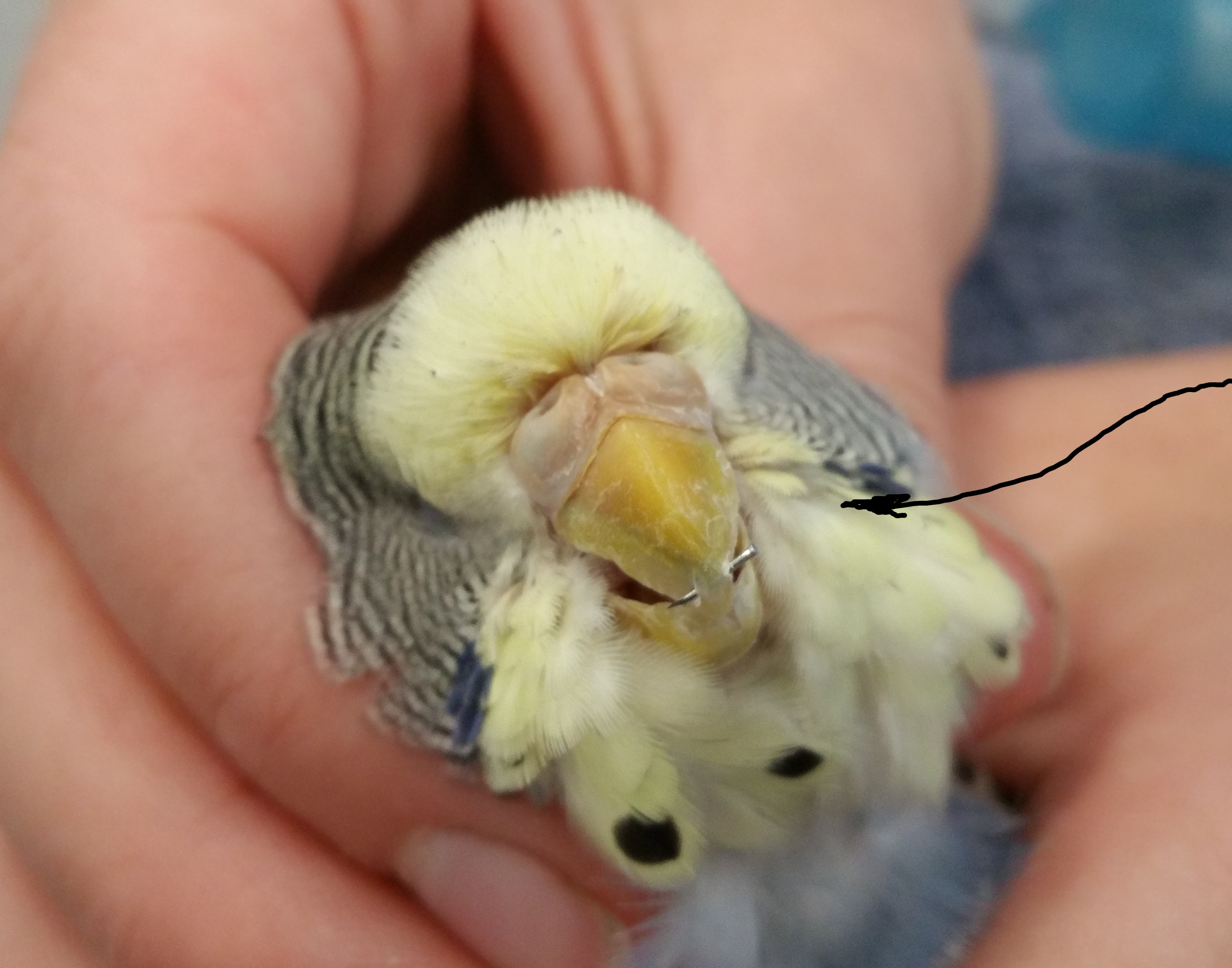 vet for  a Budgie