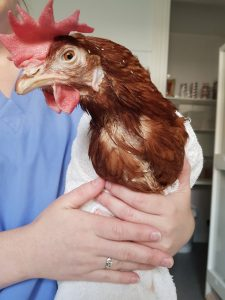 surgery at the chicken vet